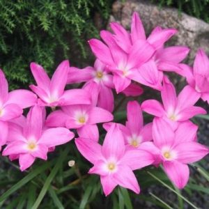 Hybrid Rain Lily 'Heart Throb'