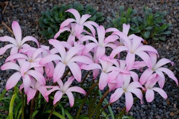 Hybrid Rain Lily 'Star Spangling'