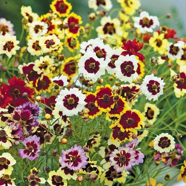 Coreopsis 'Incredible Dwarf Mix' seeds