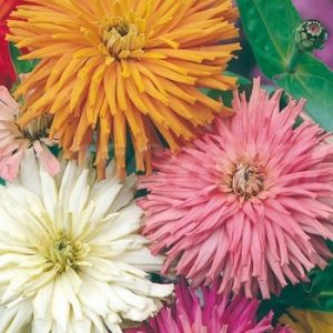 zinnia cactus mix seeds