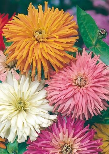 zinnia cactus mix seeds