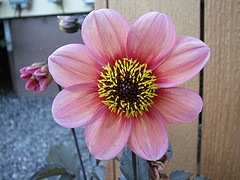 single dahlia flower with butterfly