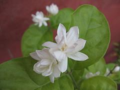 Motia Flower
