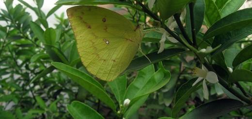 butterflyLemon2