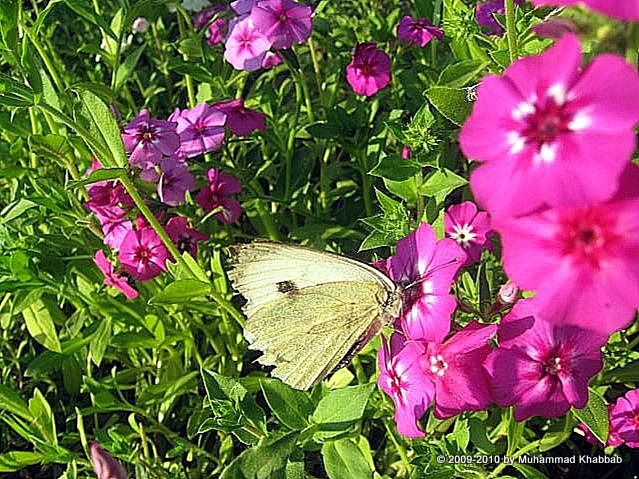 butterfly on dianthus flower