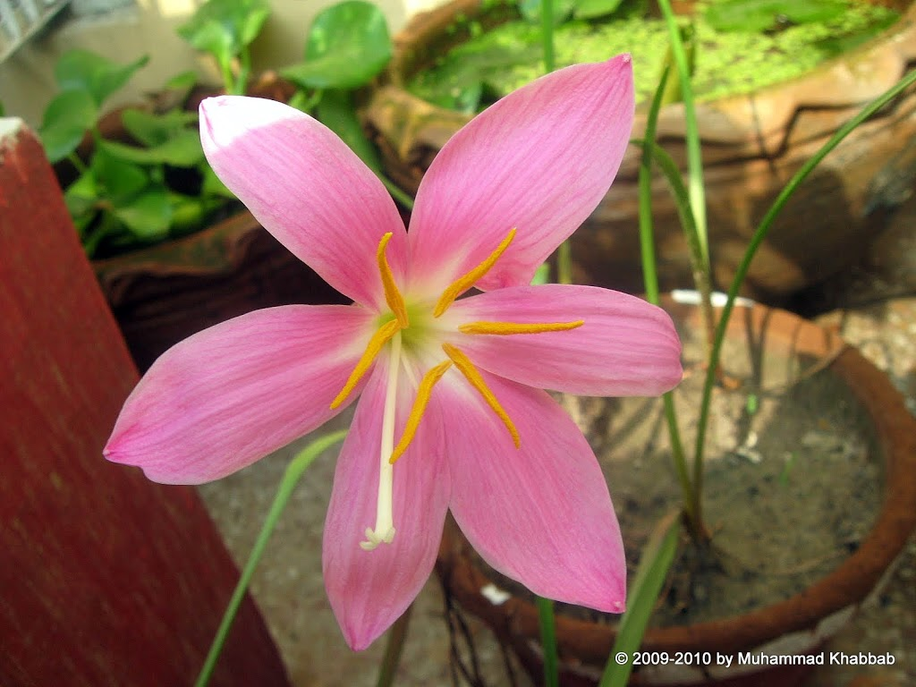 Growing Flowering Bulbs In Warm Climates Rain Lily Zephyranthes