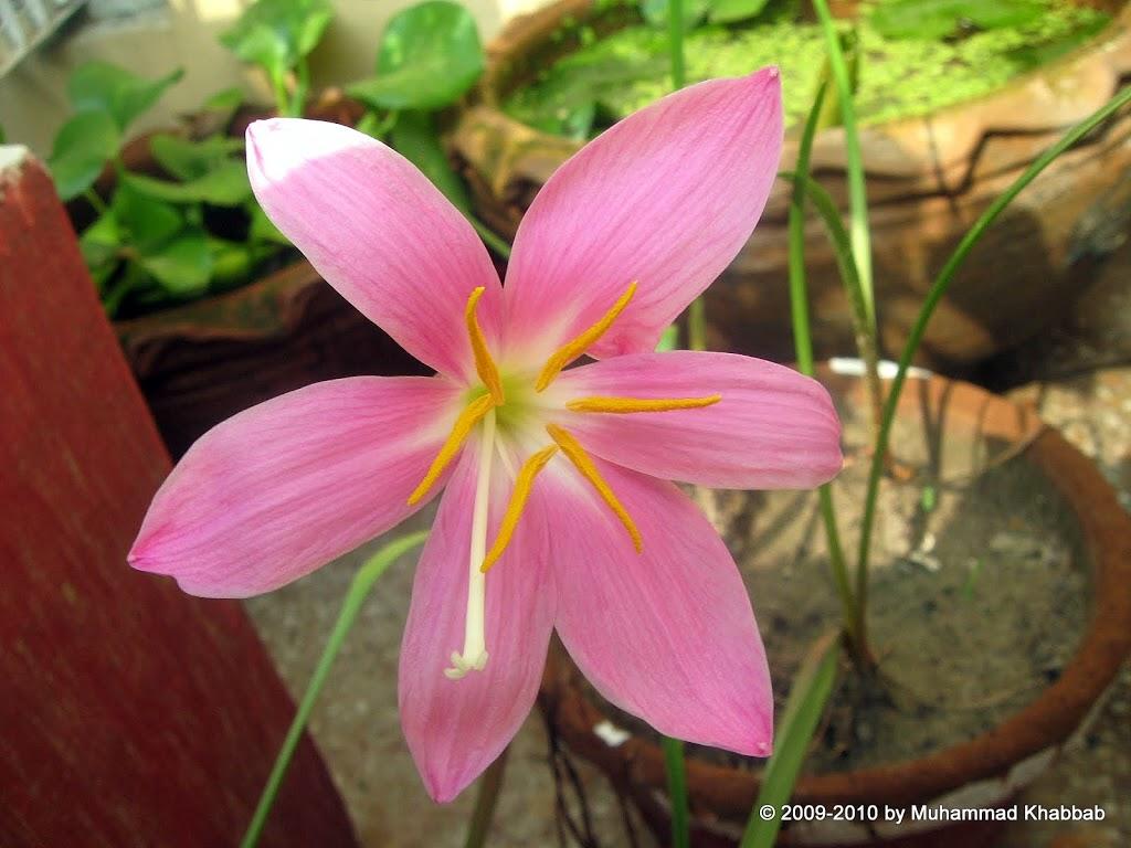 zephyranthes grandiflora pink rain lily
