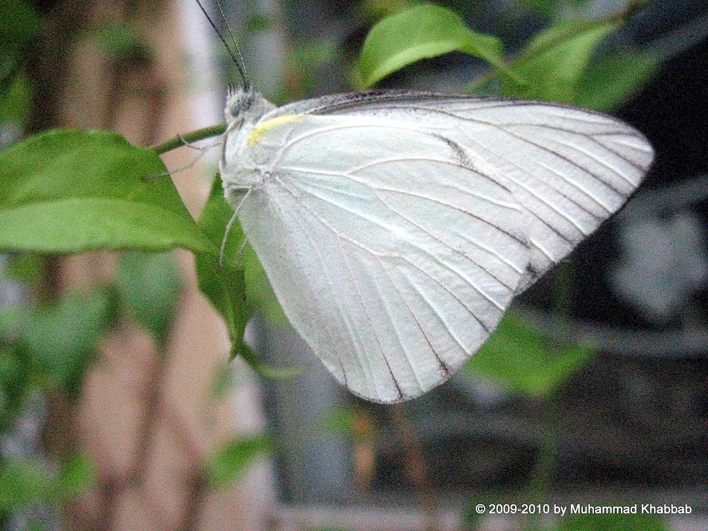 sulphur butterfly on leaves
