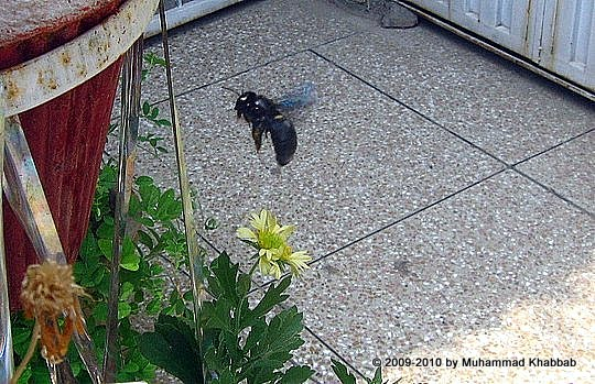 carpenter bee urban area