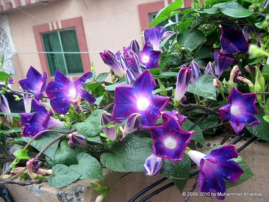 The Giggling Morning Glories Garden Geek