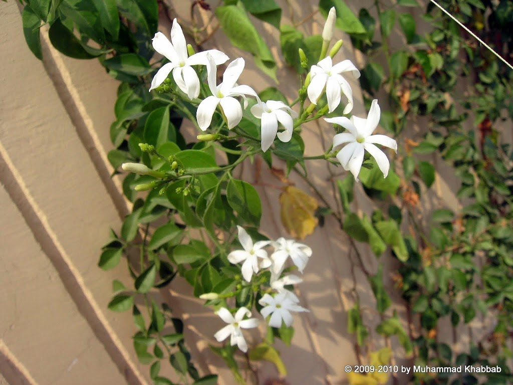 indian juhi jasmine azoricum
