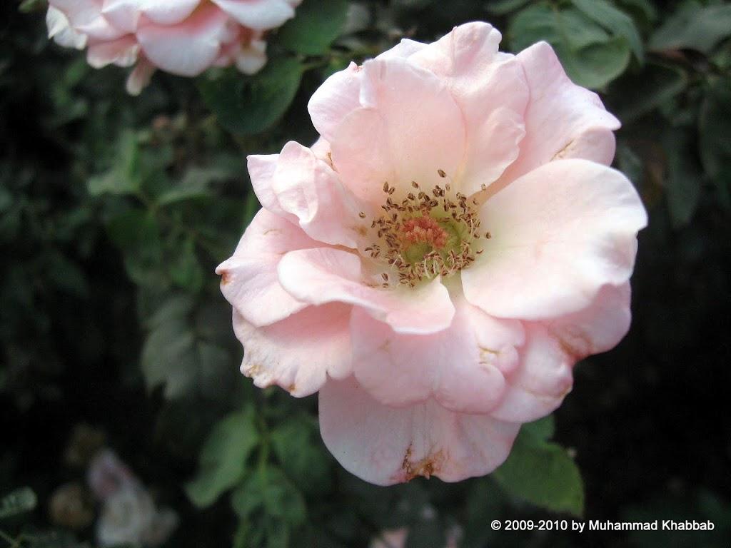 rose garden liberty lahore