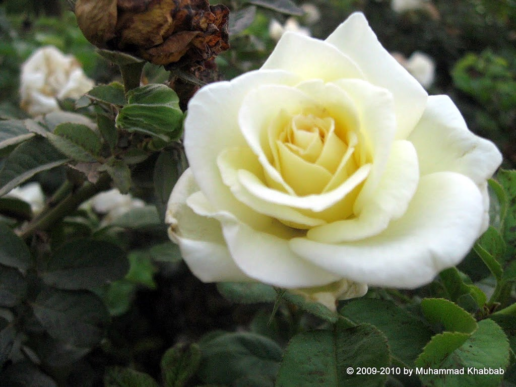 rose garden lahore