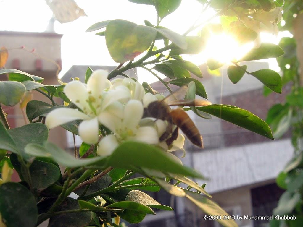 macro of bee nectar murraya flower