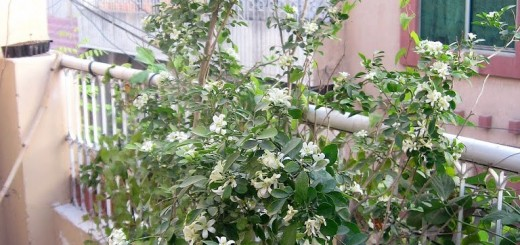 murraya_bush_on_terrace2