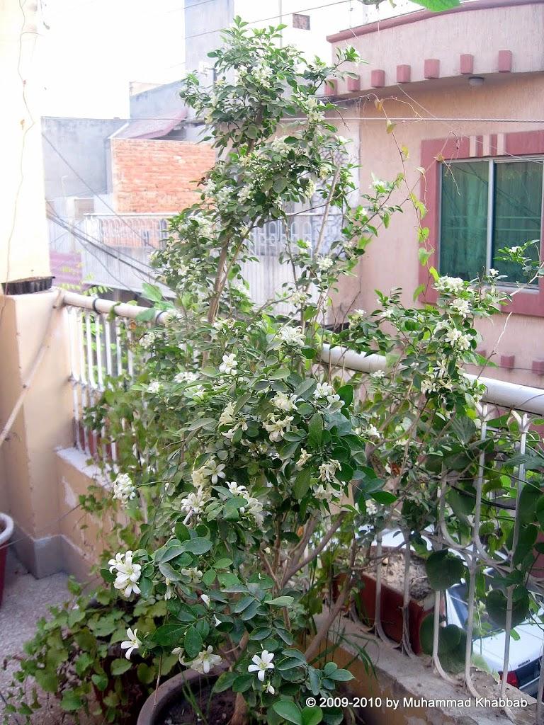 marva murraya paniculata orange jasmine