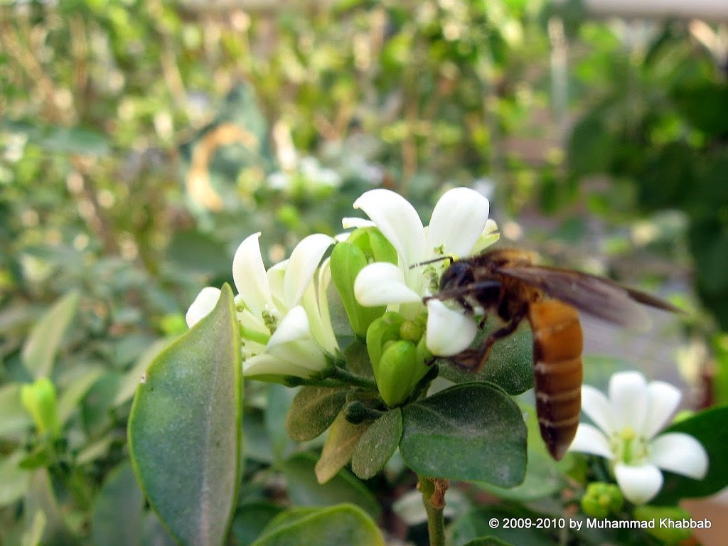 murraya paniculata attracts butterflies