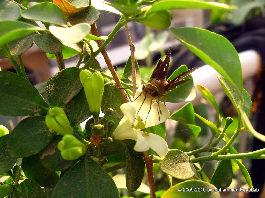 butterfly on murraya paniculata exotica marva