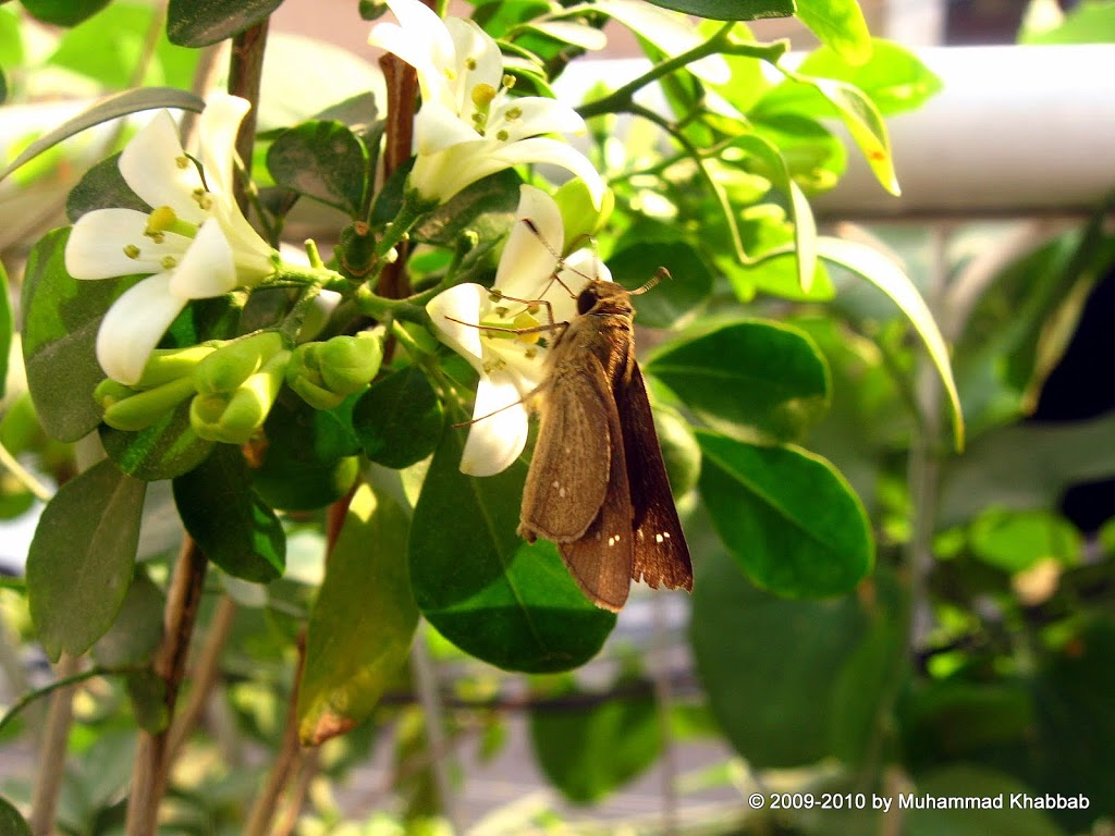 common lime butterfly nectar flower murraya paniculata