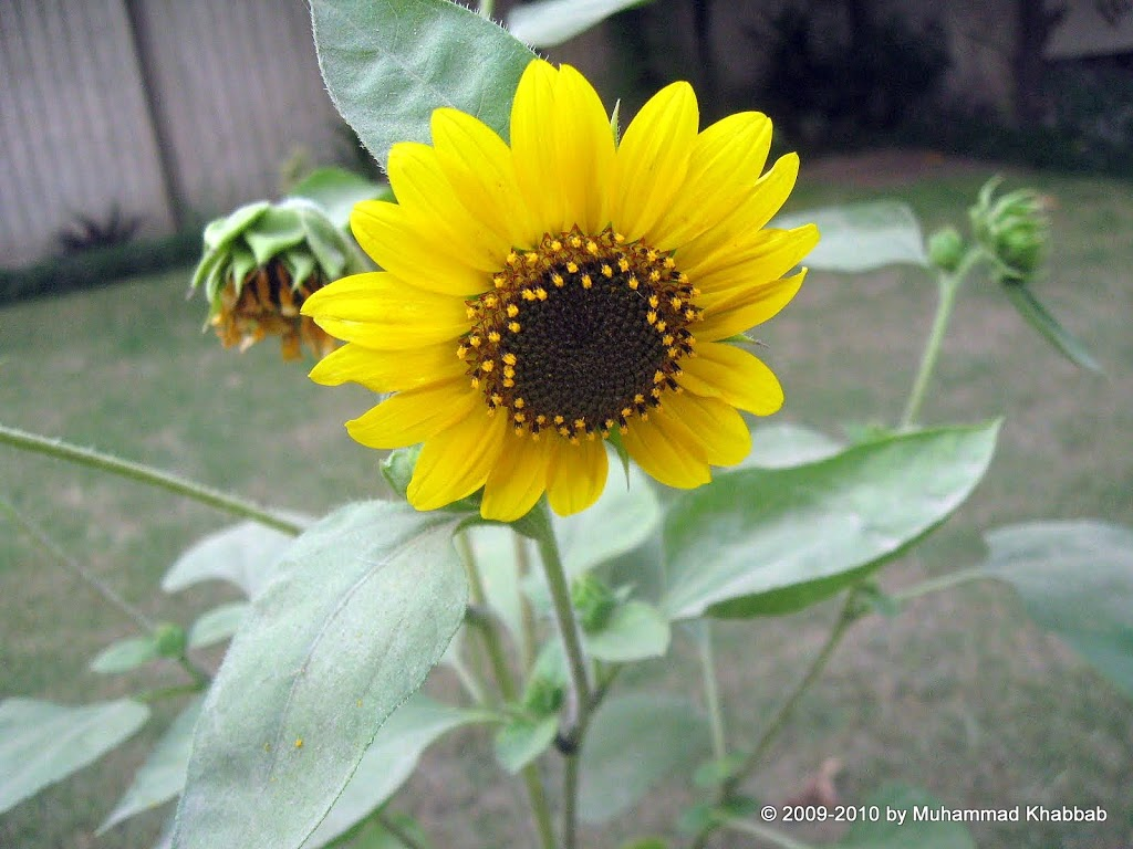 wild sunflower lahore