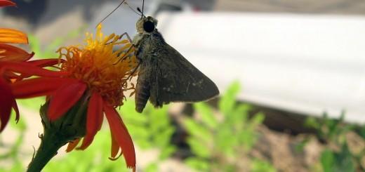 senecio-butterfly3