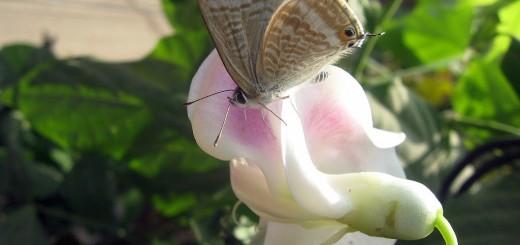 snail-vine-butterfly12