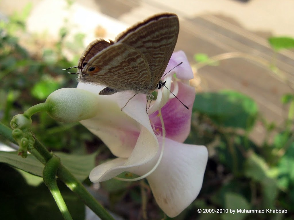 gram blue butterfly flower of vigna caracalla