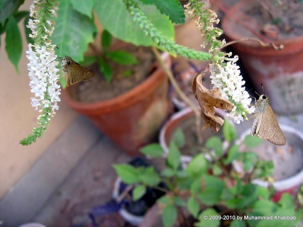Sweet almond verbena