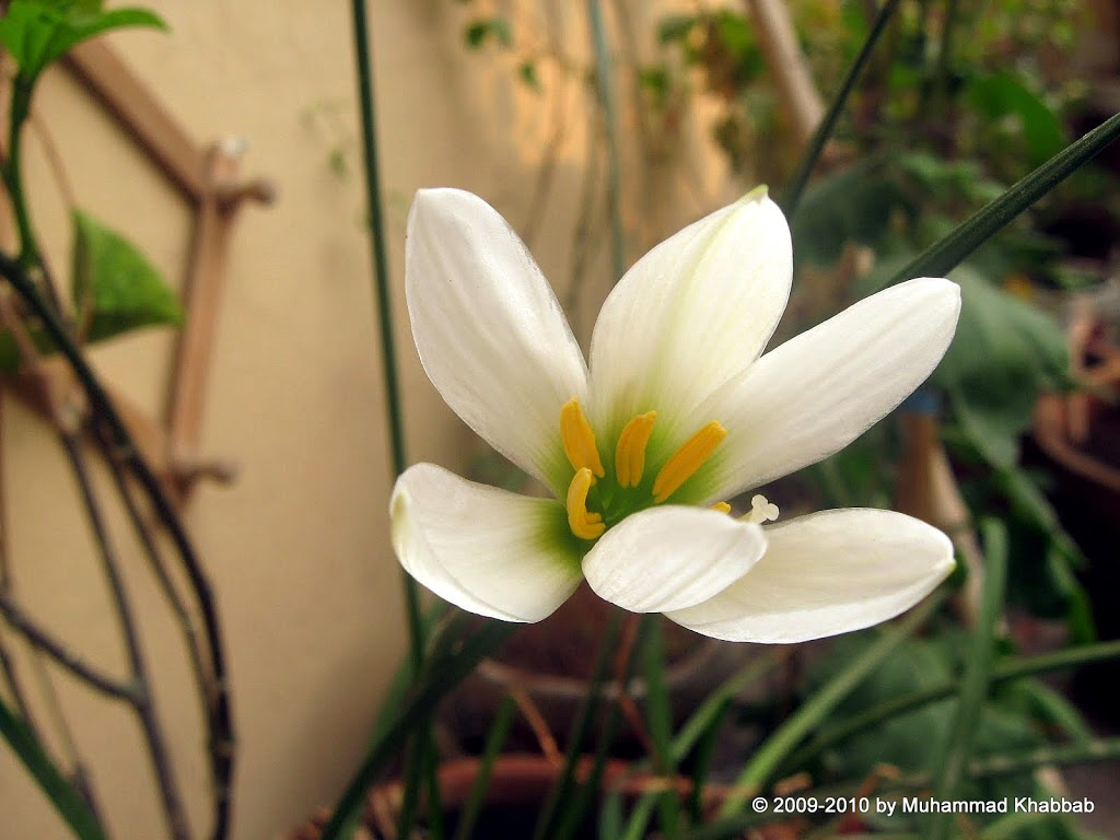 Zephyranthes candida white fairy lily