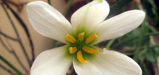 rain-lily-white-22