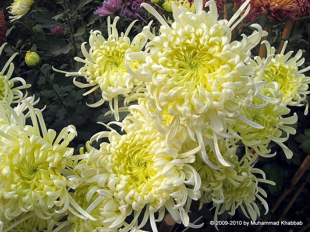 4163388635 4d69d4c691 b2 Chrysanthemum Flower Show   Part 1