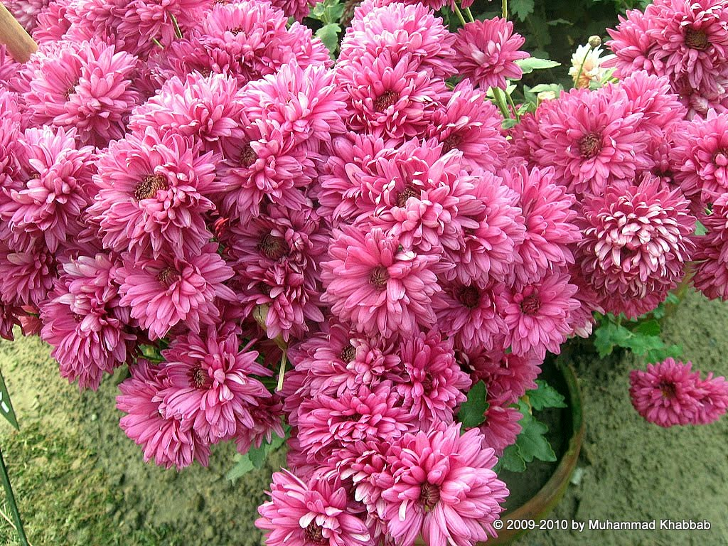 4163498167 a983550f95 b2 Chrysanthemum Flower Show   Part 1