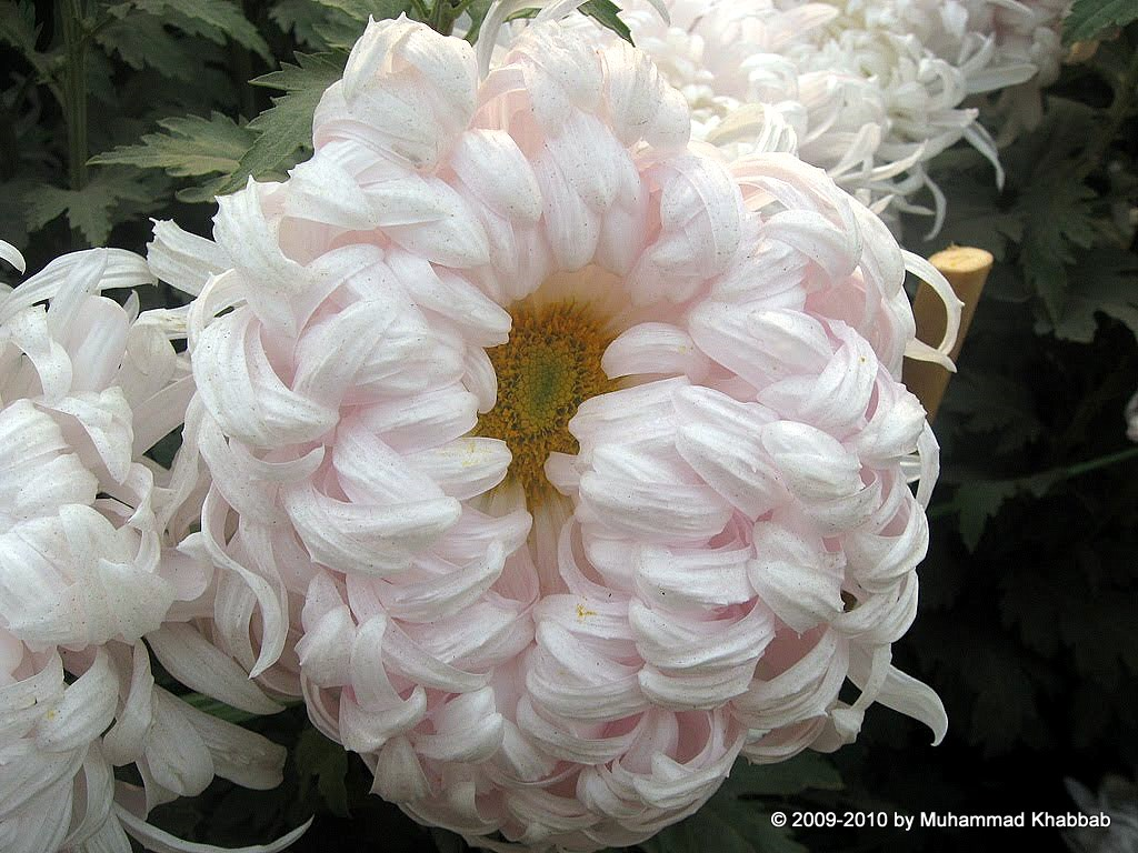 4163516287 962ac8fd83 b2 Chrysanthemum Flower Show   Part 1