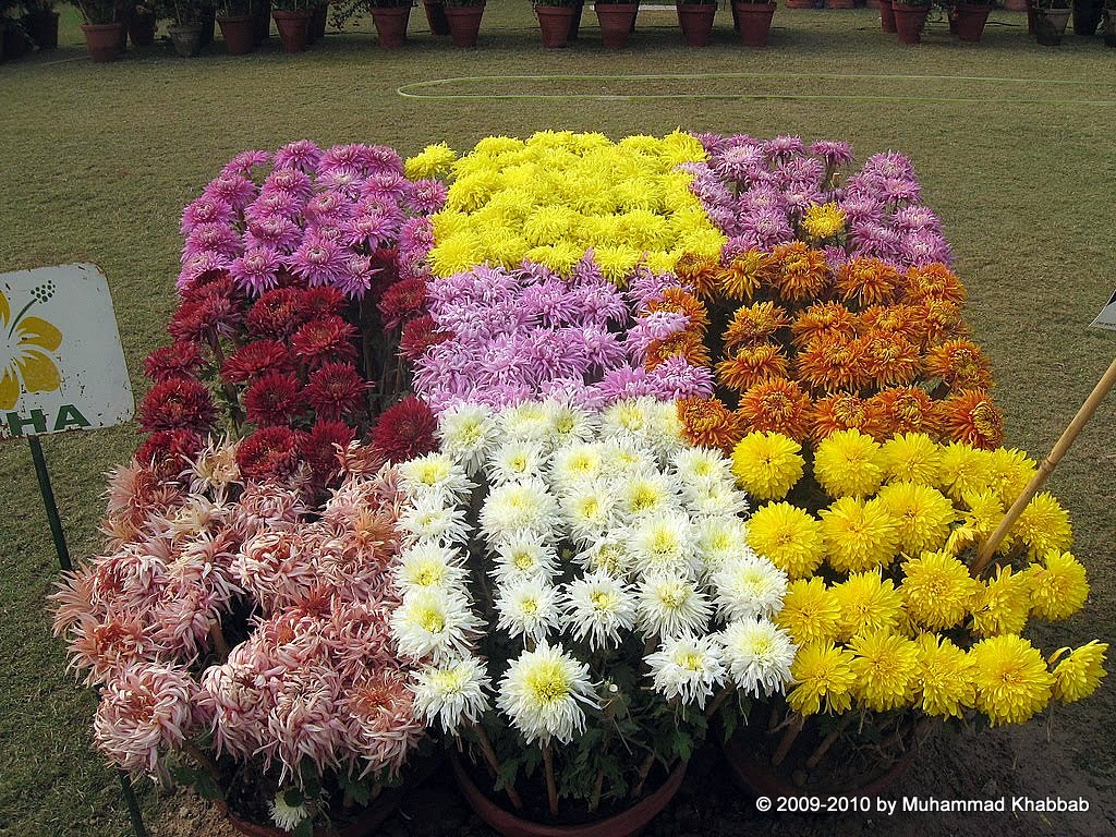 4163536773 9bc4396e89 b2 Chrysanthemum Flower Show   Part 1