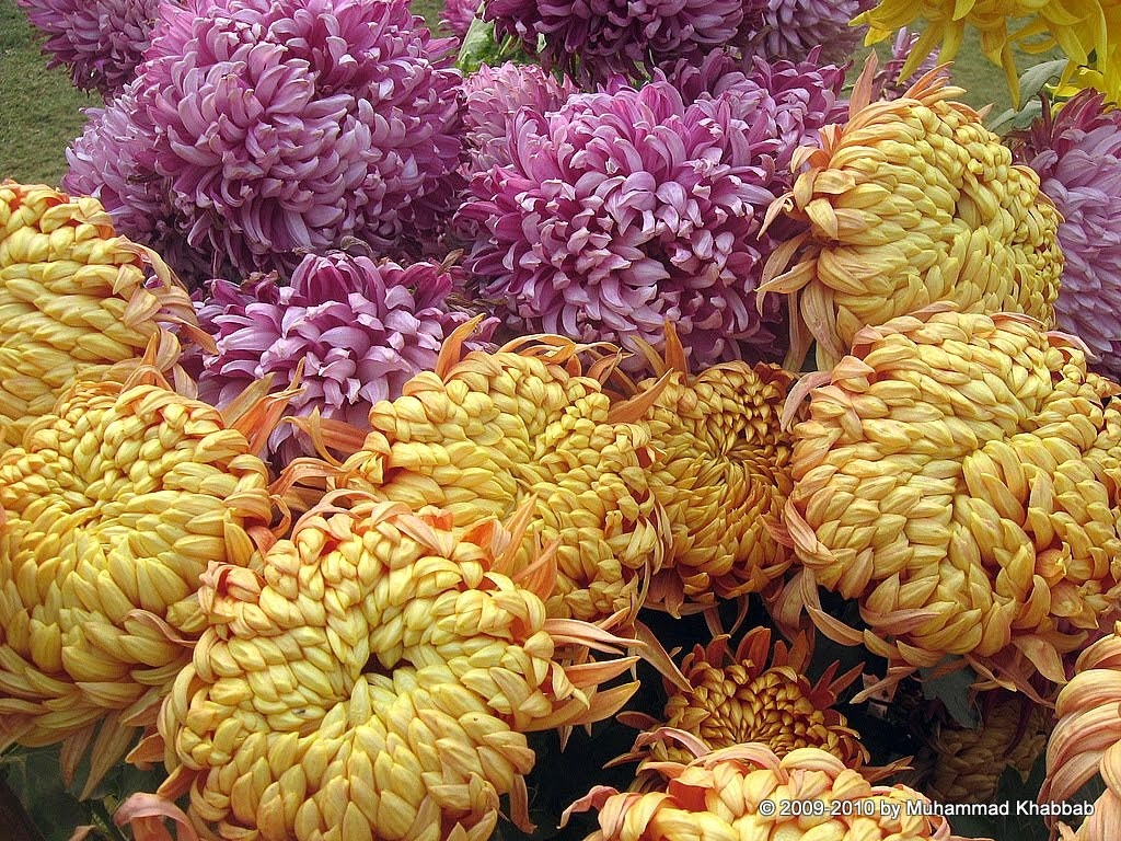 4163608033 3686f3d875 b2 Chrysanthemum Flower Show   Part 1