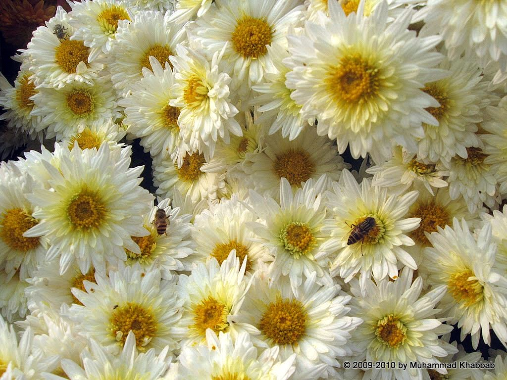 4164248048 37fcbf4f90 b2 Chrysanthemum Flower Show   Part 1