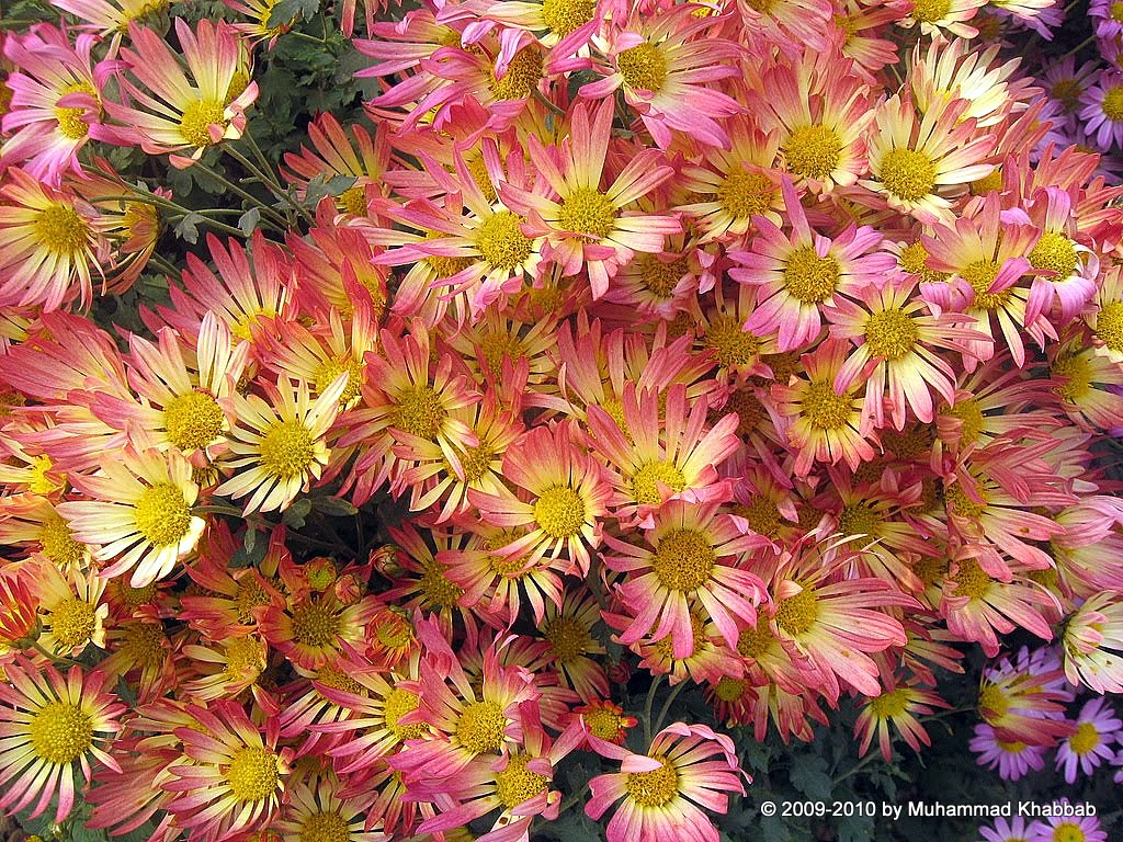 4164306280 50484e130a b2 Chrysanthemum Flower Show   Part 1