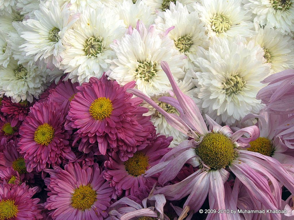 4164332448 97d5c6b8a5 b2 Chrysanthemum Flower Show   Part 1