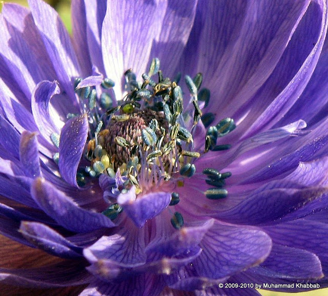anemone coronaria blue flower
