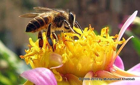 bee 20on 20dahlia2 Buttercup oxalis,iceland poppy, calendula in my garden