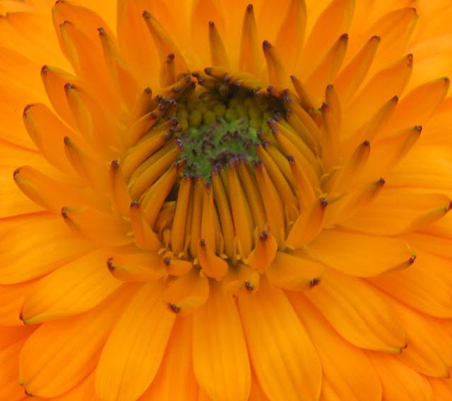 calendula 20bloom2 Buttercup oxalis,iceland poppy, calendula in my garden
