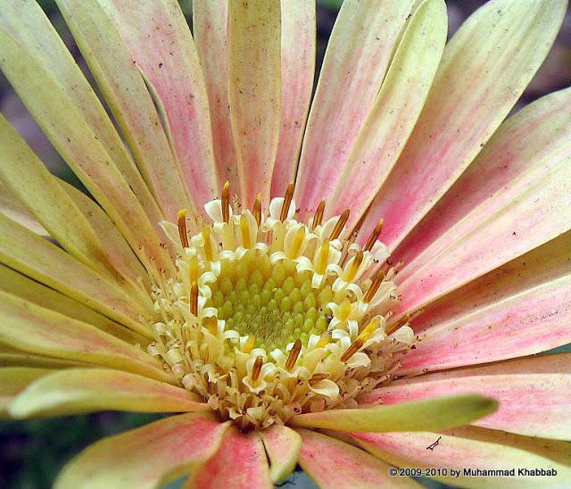 gerbera 20daisy2 Buttercup oxalis,iceland poppy, calendula in my garden