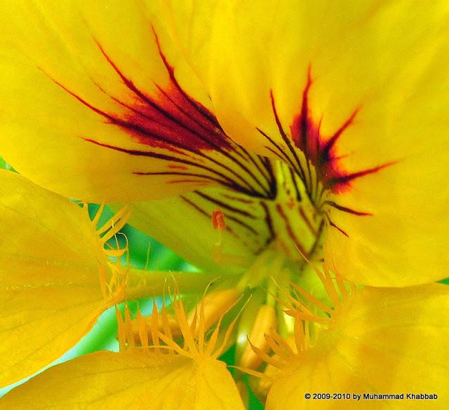 nusturtium 20macro2 Buttercup oxalis,iceland poppy, calendula in my garden