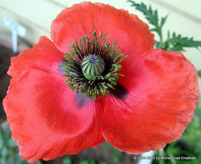 shirely 20poppy2 Buttercup oxalis,iceland poppy, calendula in my garden