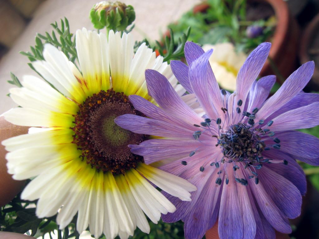 blue anemone in lahore