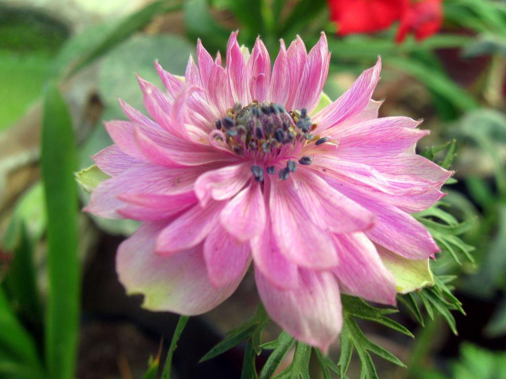 pink anemone coronaria flower