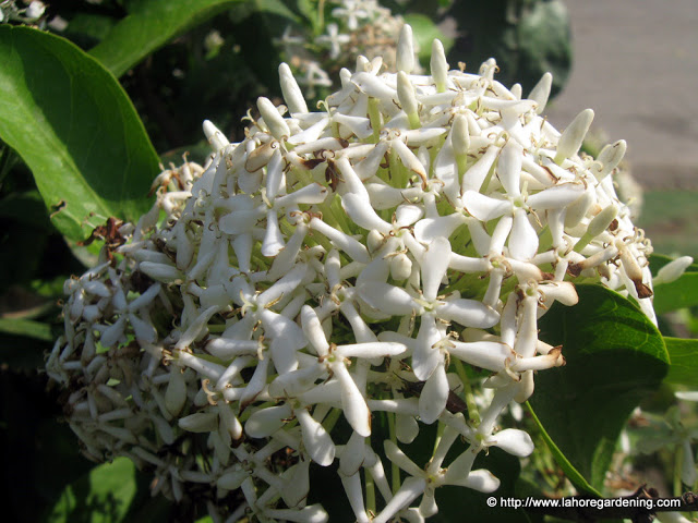 fragrant ixora