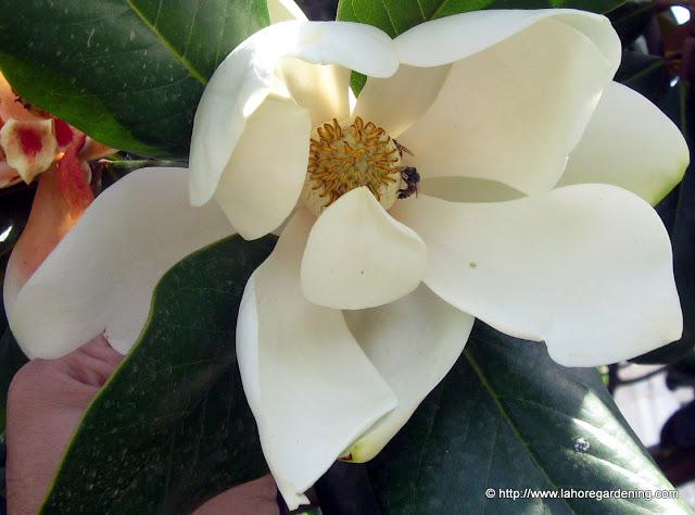 fragrant magnolia