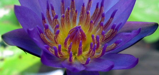 blue-waterlily2