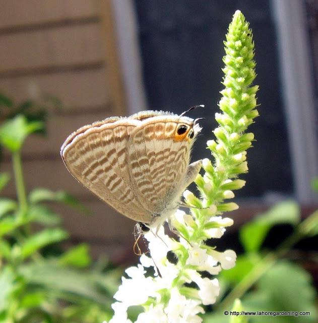 blue gram butterfly